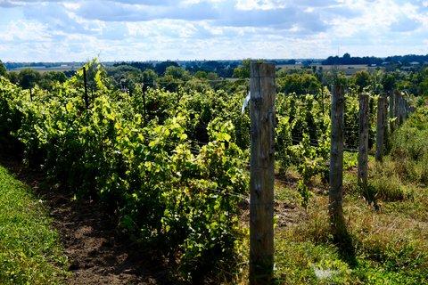 Les conséquences observées du changement climatique sur la vigne