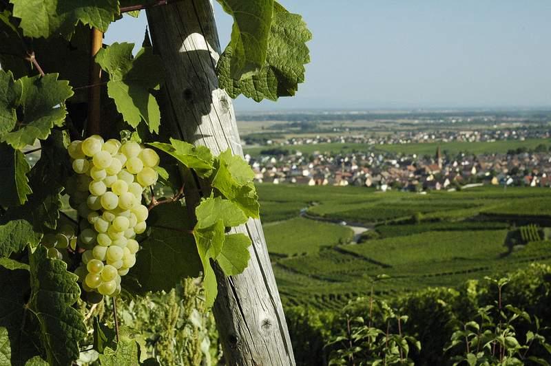 Observation des risques liés au changement climatique en vigne et expérimentation participative pour s'y adapter